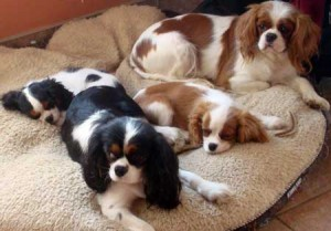 King Cavalier Spaniel Puppies For Sale in Ontario